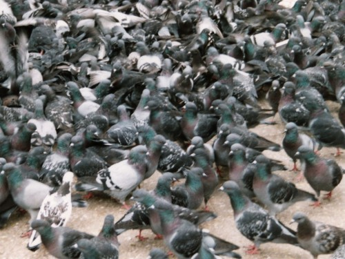 Pigeons 500x375 Dance Music Post.