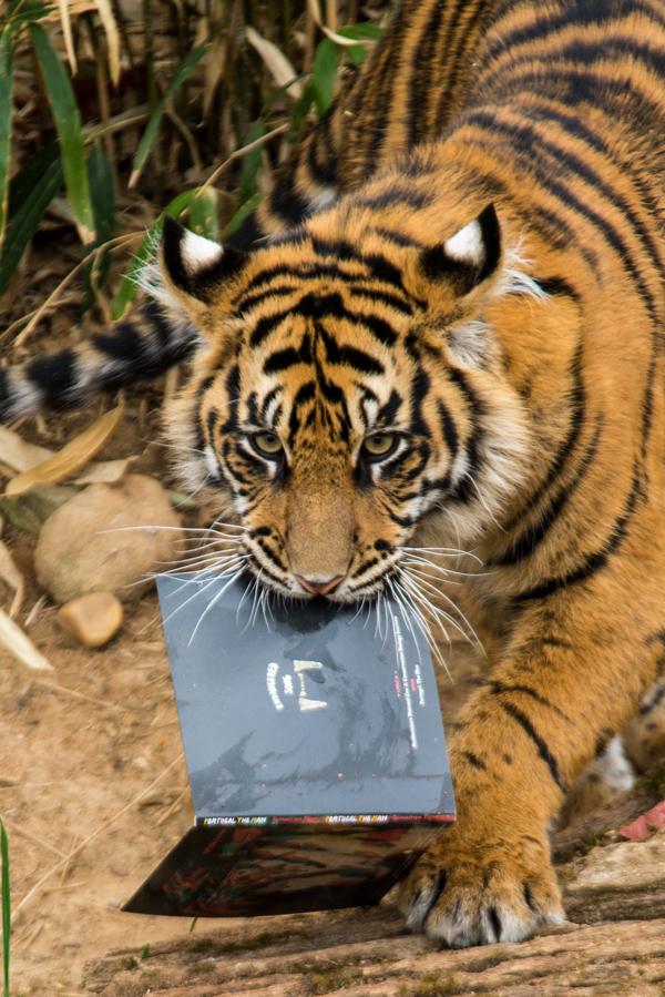 tiger3223423